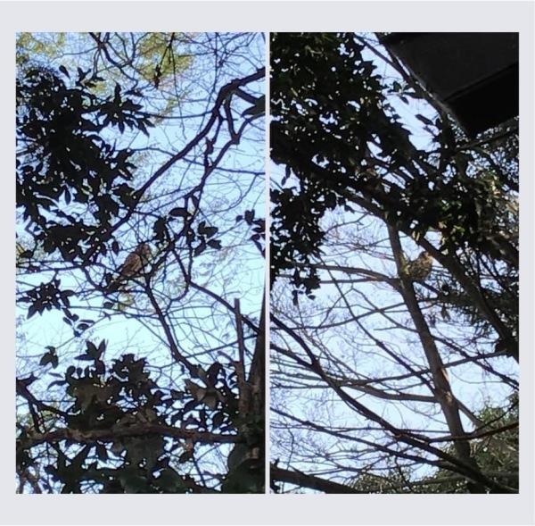 境内の木にとまる梟 この日は2羽見つける