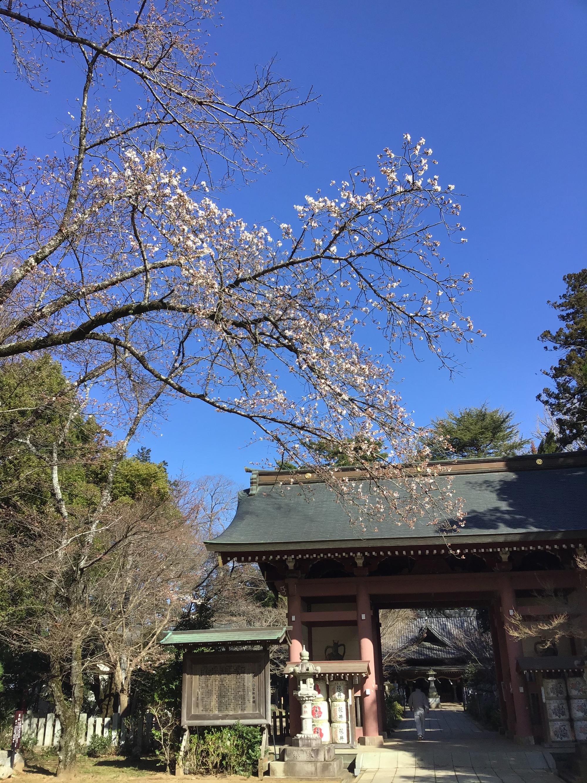 令和2年度の桜の開花