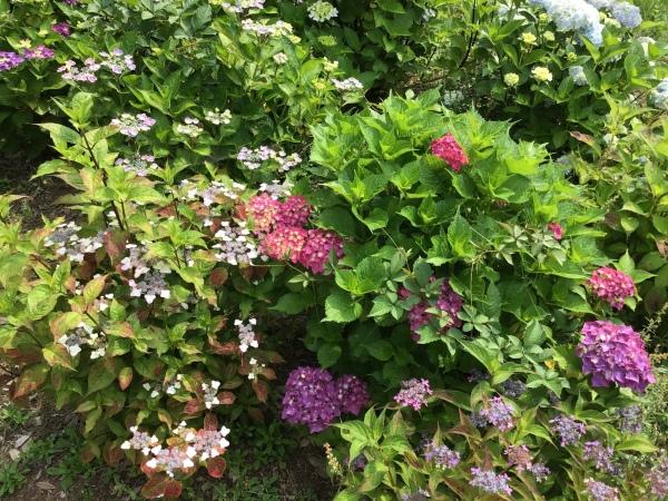 大宝八幡宮の秘密のエリアで育成中 紫陽花