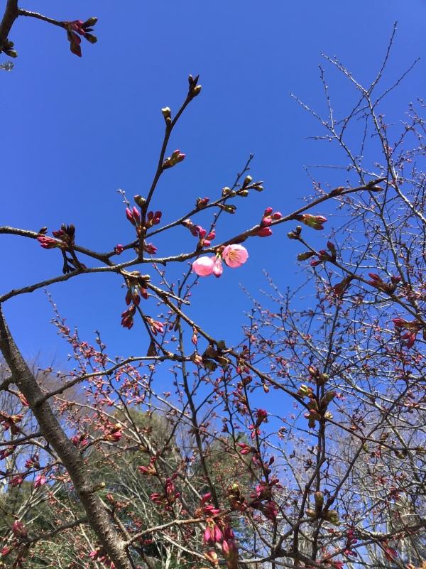 桜の雅という品種 五輪以上開花