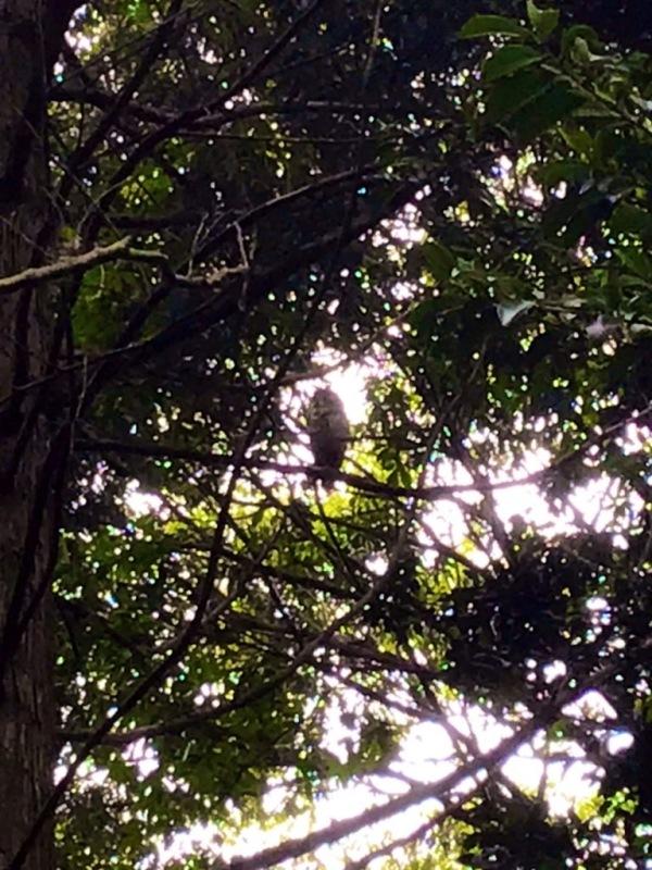 大宝八幡宮境内の木 フクロウがとまっている