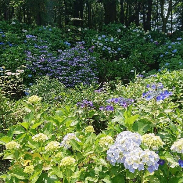 あじさい苑の紫陽花の様子