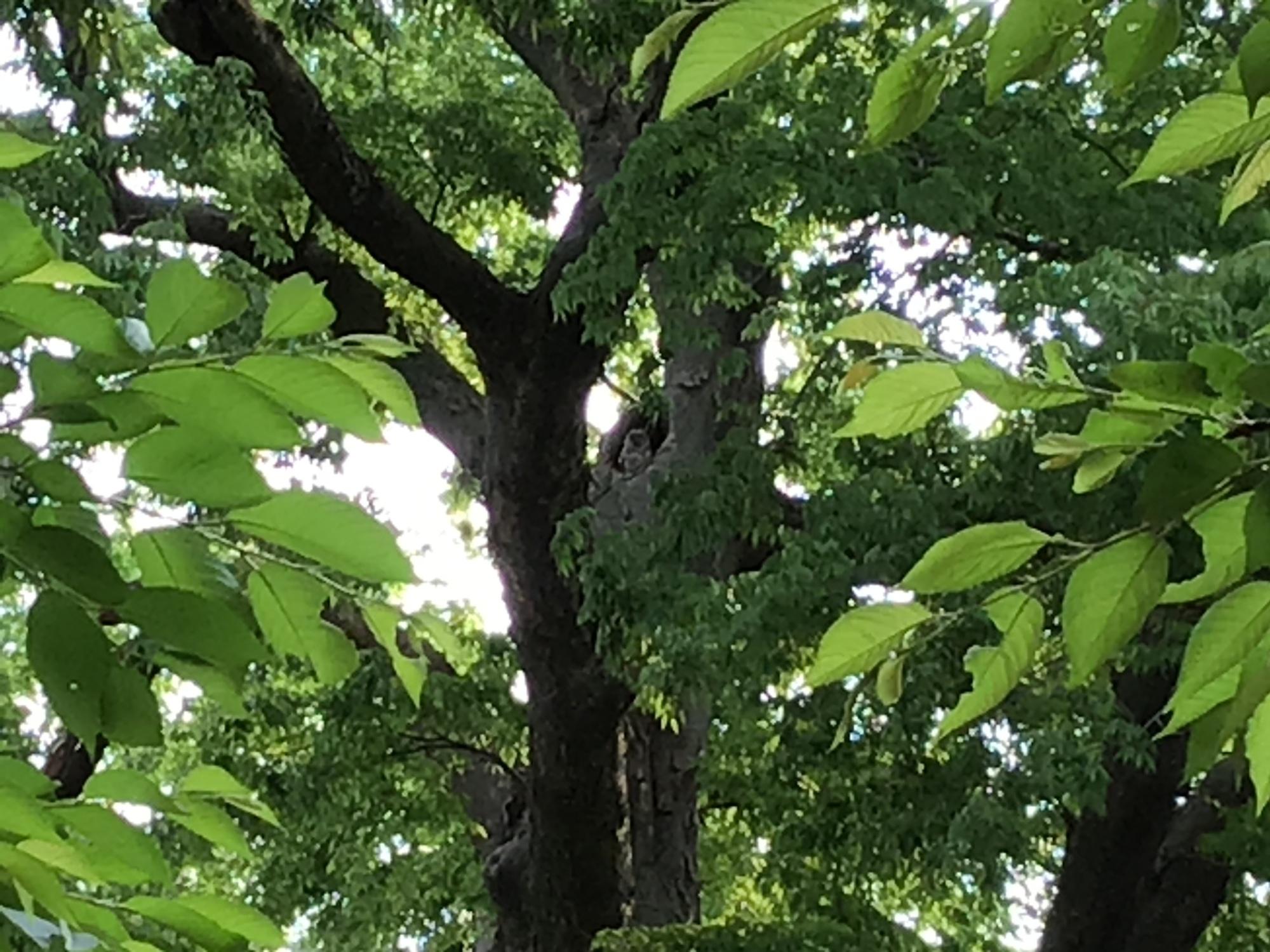 大宝八幡宮の境内で子育て中のフクロウ