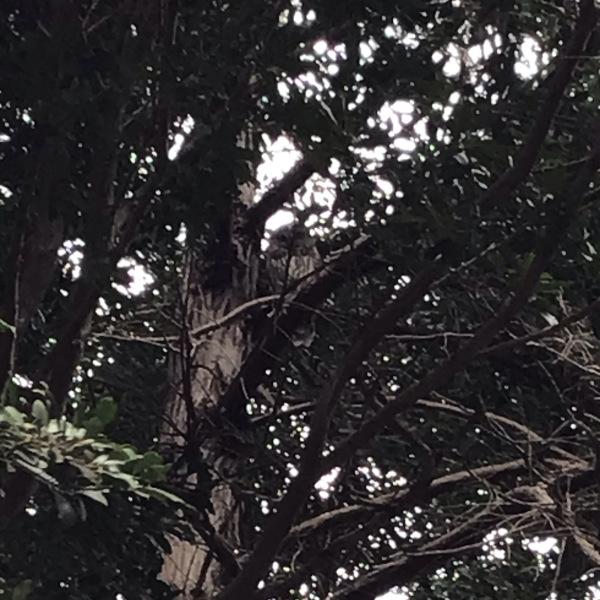 大人の梟 境内の木の上にて