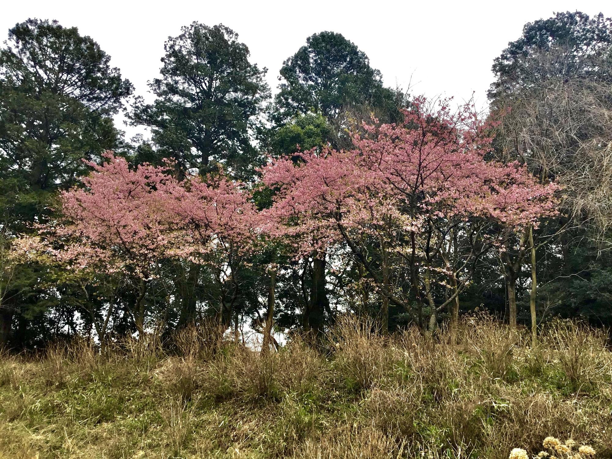あじさい苑の桜