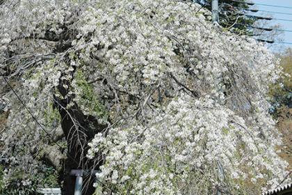 一足早い枝垂桜